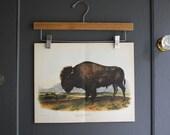 audubon buffalo print
