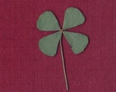 Package of 4 REAL Four Leaf Clovers (4-Leaf Clovers) - Dried and Pressed