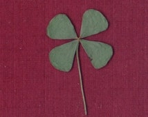 Package of 3 REAL Four Leaf Clovers (4-Leaf Clovers) - Dried and Pressed