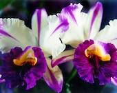 Cattleya Orchids Fine Art Photo Greeting Card - Flower Photography - Hawaii Fine Art Photography Nature - Blank Inside Orchids Wedding Card