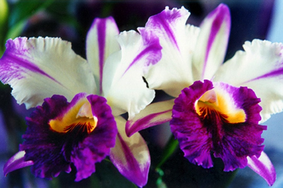 items similar to cattleya orchids fine art photo greeting