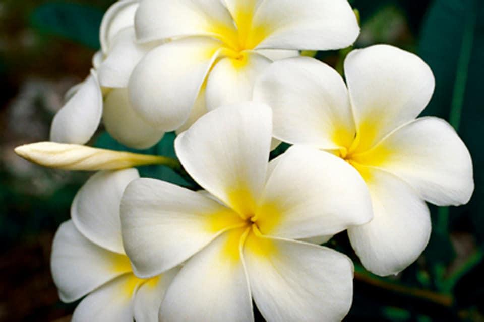 White Plumeria Hawaiian Lei Flower Fine Art Photography Canvas