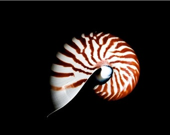 Striped Nautilus Shell on Black Background Great Contrast Wall Art Sea Ocean Theme Room Decor - The Back of the Nautilus Fine Art Photograph