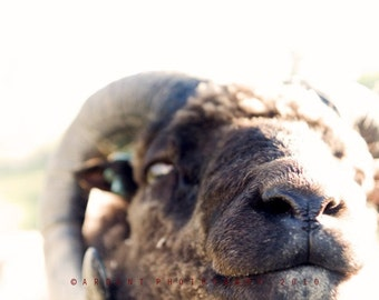 Animal Wall Art Nature Room Decor - A Sheep's Eye View - A Fine Art Photograph by Sarah McTernen