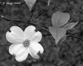 spring dogwood - original fine art photo - 8x10