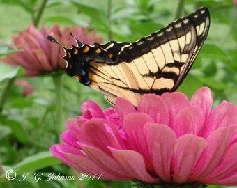 Zinnia and Tiger Swallowtail - 5x7 Original Fine Art Photograph