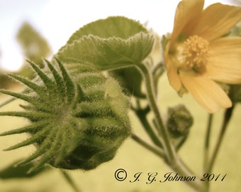 Velvet Leaf Mallow - 8x10 Original Fine Art Photograph