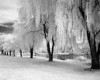 Row of Weeping Willows - 8x12 Fine Art Infrared Photograph