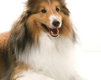 SHELTIE DOG on  TWELVE 6 inch Fabric Squares for Quilting and Sewing