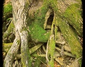 Mossy Trees, woodland art, rustic home decor, nature photo, green forest, moss, trees, roots, deep woods - Where The Fairies Hide 8x8