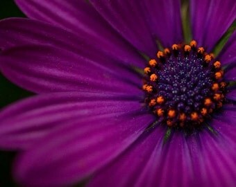 Aubergine Purple Flower Photography, Amethyst, Original Fine Art Photography - aubergine purple radiant orchid flower 16x16