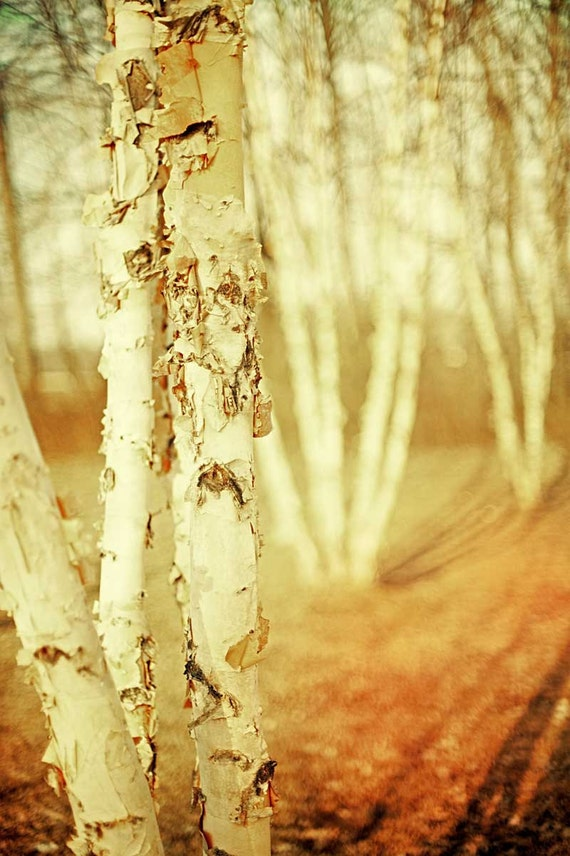 Woodland photography autumn trees fall color nature photography enchanted forest neutral pale paper white amber trees - 8x12 photograph