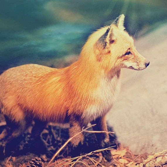 Fox Photography, Wall Decor, Wall Hanging, Fox Art, Natural History Wall Art, Woodland Creature, nursery art print - Sly Fox Decor
