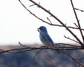 Mountain Blue Bird 8.5 x 11 Original Fine Art Photography - circlebbart
