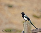 Magpie, posing for photograph
