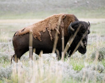 Bison Buffalo Yellowstone, 8.5 x 11 Original Fine Art Photography