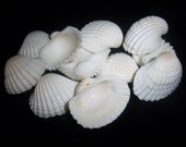 beach Decor-12-white medium clam shells
