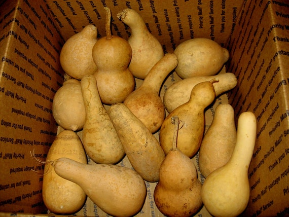 Gourds Box of 15 dried, cleaned and Craft ready JUMBO mini Gourds(A)