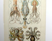 Vintage Color Octopus Octopods Decapods Plate Engraving Print - 1905