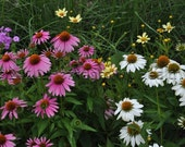Organic Echinacea Seeds