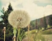 Wish Big Dandelion Montana Sky Fine Art photographic print, 8x12