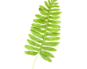 Licorice Fern - Print