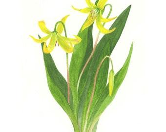 Glacier Lily - Print
