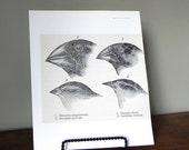 SALE Vintage print book plate of bird beaks