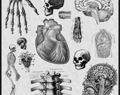 Human Anatomy Body Photoshop Brushes Set Of 18