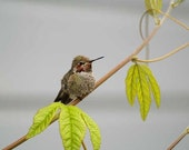 Resting Hummingbird Fine Art Photo 8 by 10