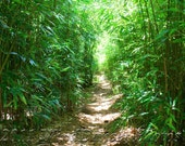 Peaceful Path - 8 x 12 Fine Art Bamboo Photo - Hawaii Photo - Serene - Zen - Bamboo Photo - Home Decor - Office Decor