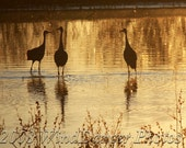Golden Cranes - 8 x 12  Fine Art Photograph - Sunset - Golden Pond - Sandhill Cranes - Wildlife - Home Decor - Office Decor - WindDancerPhotos