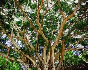 Banyan Afternoon - 12 x 16 Fine Art  Photo - Earth's Trees - Hawaii Photo - Banyan Tree Photo - Greens - Home Decor - Office Decor