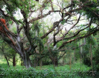 Mystic Morning - Fine Art Photo - Banyan Tree- Rainforest Photo - Tropical Photo - Hawaii- Maui - Home Decor - Wall Art - Greens - Mist