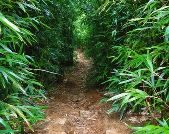 Road to Hana - The Bamboo Forest - Fine Art Photo - Maui - Hawaii - Hawaii Photo - Bamboo Photo - - Home Decor - Hawaii Gift - Zen