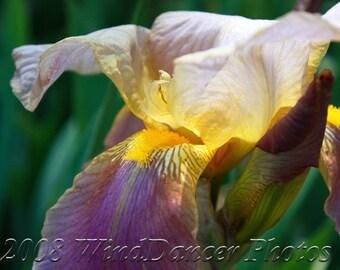 Iris Light - 8 x 12 Fine Art Iris Photograph - Flower Photo - Floral - Summer - Home Decor