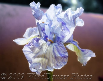 Blue Iris  -  8 x 12 Fine Art Flower Photo - Flower Photography - Iris - Blues - Fine Art Print - Home Decor