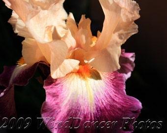 Peaches and Wine Iris Dazzler - 9 x 12 Fine Art Iris Photograph - Flower Photo - Iris Photo - Summer - Home Decor - Peach - Deep Wine -