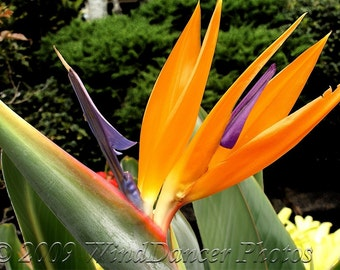 Jagged Paradise - 8 x 10 Fine Art Flower Photograph - Flower Photo - Tropical - Bird of Paradise - Home Decor - Office Decor