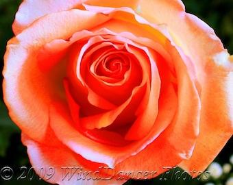 Orange Promise  - 8 x 10 Fine Art Rose Photo - Flower Photography - Rose - Macro - Floral Art - Home Decor