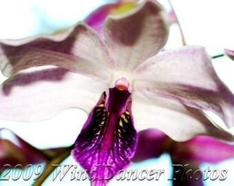 On the Wings of an Orchid - 8 x 12 Fine Art  Orchid Photograph - Flower Photo - Orchid Photo - Macro - Whites - Home Decor - Gift Idea
