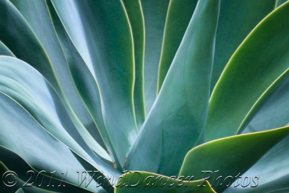 Flowing Light - 9 x 12 Fine Art  Plant Photograph - Blue Agave Plant Photo - Blue Greens - Home Decor - Office Decor