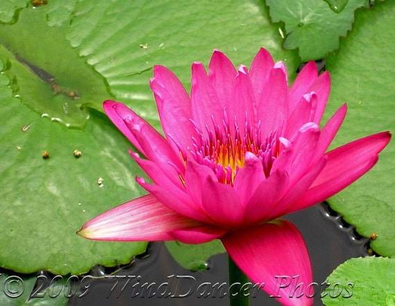 After the Rain  - Fine Art Photograph - Hot Pink - Water Lily - Lily Pads- Greens - Metallic Photo - Home Decor - Spa Decor - Wall Art