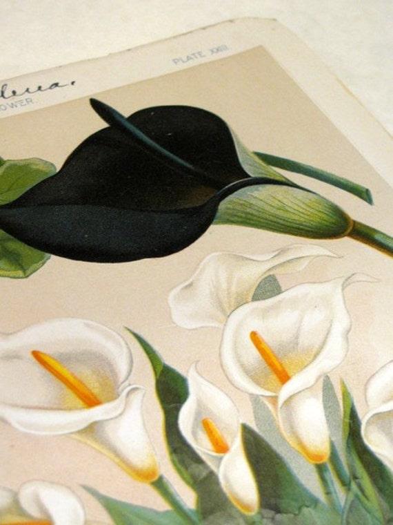 Black Calla Lily Print