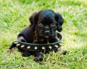 puppy photograph, pet photography, it's all about attitude, cute black cocker spaniel dog, spike collar, canine, fine art print 5x7