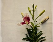 Nature Photography. Botanical Lily No. 7755. Fine Art Photograph by Tricia McKellar