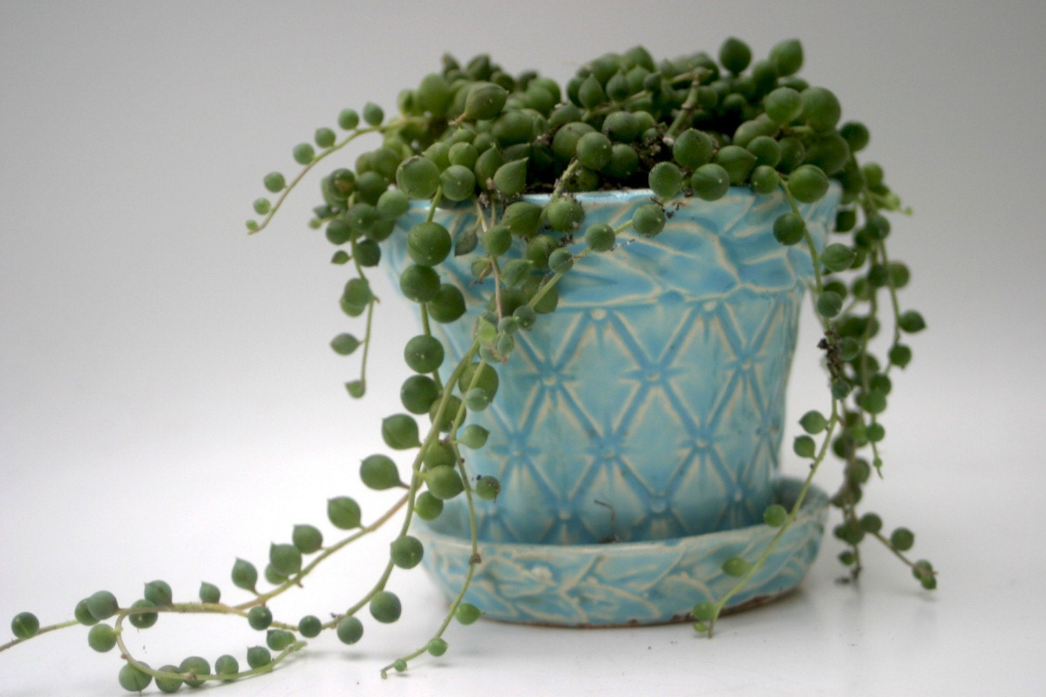 string of pearls succulent in mccoy quilted planter. Black Bedroom Furniture Sets. Home Design Ideas