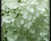 paper lace hydrangea, 8X8 inch square photograph