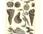 1903 Fossils of the Cretaceous Illustration