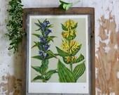 Gentian Vintage Flower Print -  Botanical Illustration 1968